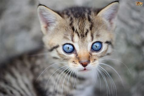 kittens eyes change colour petshomes