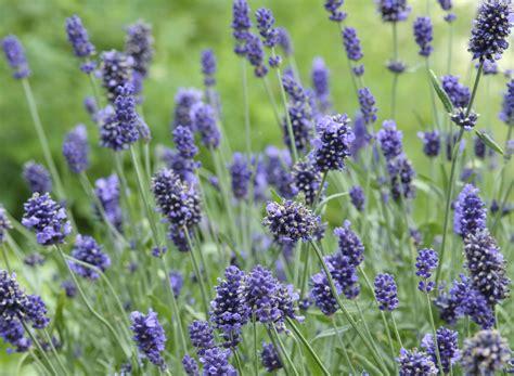 lavender plant height gt lavender range of plants