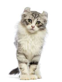 american cat american curl cat breed information pictures
