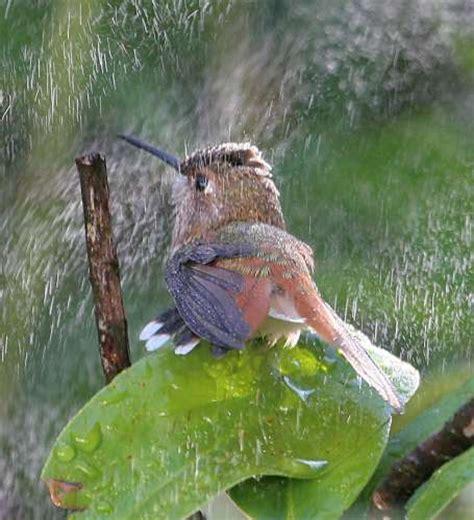 hummingbird in mister displaying wings