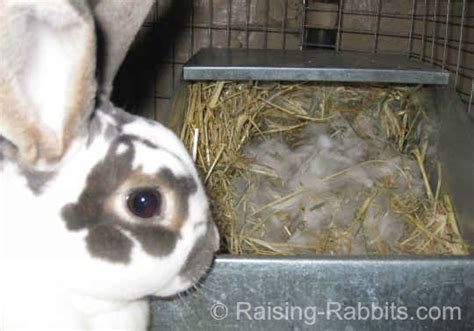 rabbits giving birth discover  brand  litter