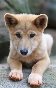 Two pups, named Daku and Mirri, are pure-breed Alpine ...