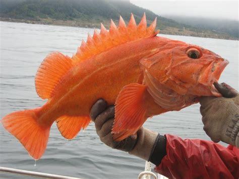 yelloweye rockfish fishing regulations anglers marine groundfish cdfw fisheries sport participation cdfgnews
