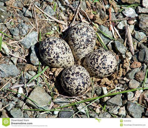 killdeer bird eggs in nest stock photo image of gravel