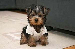 small dog breeds that don t shed
