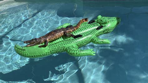chillin gator alligator  relaxing  gator raft