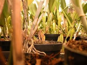 Comment Tailler Les Orchidées Pour Qu Elles Refleurissent : comment sauver une orchid e trop arros e s che ou sans ~ Melissatoandfro.com Idées de Décoration