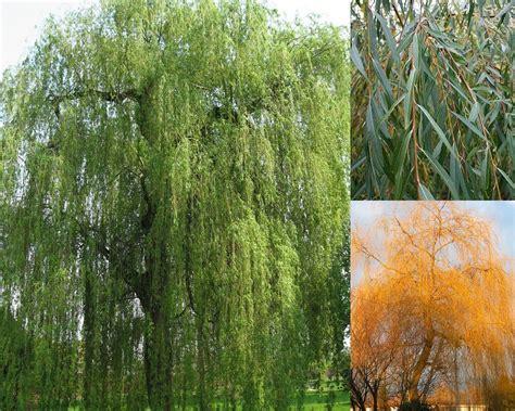 Salix x sepuilcralis - Zeltzaru vītols