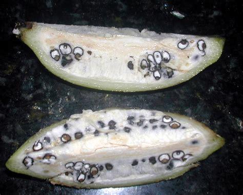 do bananas seeds wild bananas la gringa s blogicito