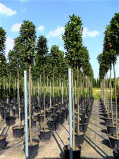 Arbres u00e0 feuillage persistant - Jardinier Pro