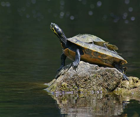 Turtle Shell Not Shedding Properly by Shedding Turtle Withlacoochee River East Of Hwy 200
