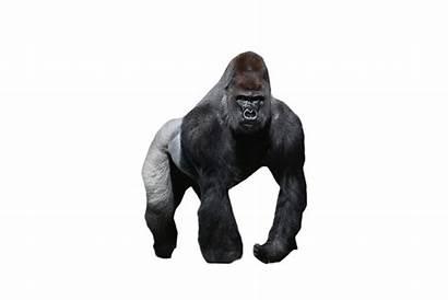 Gorilla Transparent Clipart Mountain Orangutan Chimpanzee Standing