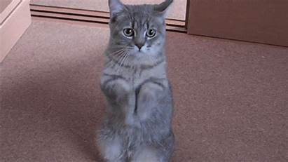 Cat Begging Behaviors Breed Cats Behavior Ideal