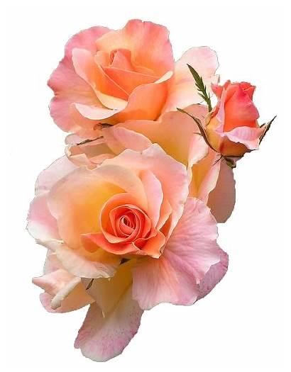 Transparent Flowers Flower Roses Rose Aesthetic Peach