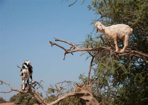 argan tree goats  morocco