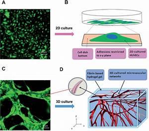 2d Versus 3d Cultures Of Human Umbilical Vein Endothelial