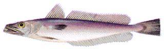cuisiner le merlu recettes2poisson com les recettes de cuisine de poisson