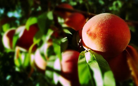 peach tree wallpaper gallery