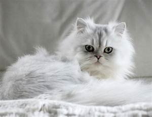 Chinchilla - Cat Breed Information and Profile | Vetwest ...