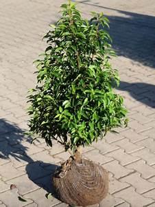 Portugiesischer Lorbeer Gelbe Blätter : portugiesischer kirschlorbeer pflanzen janssen gmbh ~ Eleganceandgraceweddings.com Haus und Dekorationen