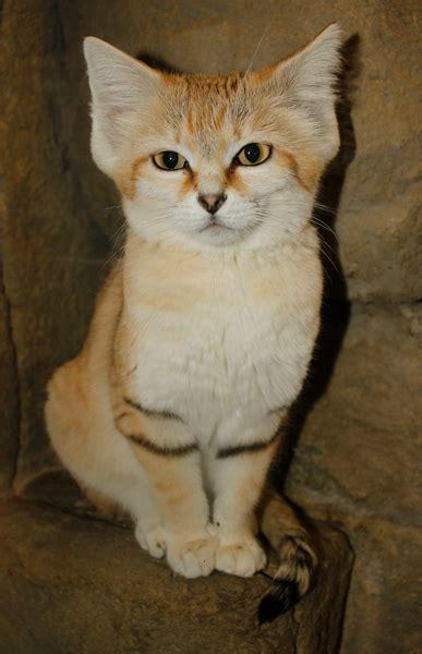 arabian sand cat utahs hogle zoo