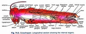 Grasshopper Internal Anatomy Diagram