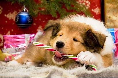 Christmas Dogs Dog Animals Animal Wallpapers Puppy