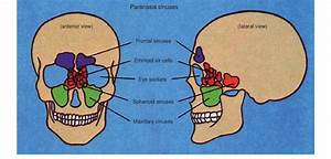 Location Of Sinuses In Skull