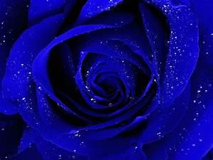 Rose Flower Wallpaper Hd Wallpapers 1920x1080PX ~ Dark ...