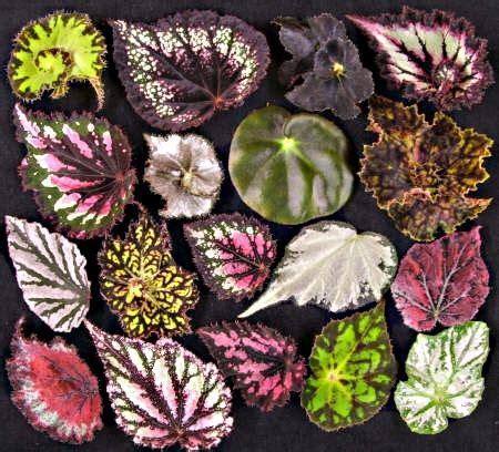 begonia plant types growing begonias begonia plants common house plants low light house plants