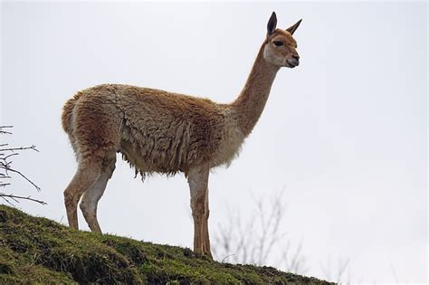vigogna lana pregiata glossario dellartigianato