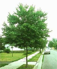 trident maple tree Yard Supply :: Garners Ferry Landscape Supply ...