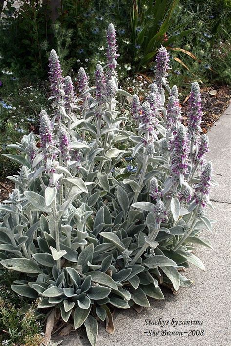 lambs ear plant plantfiles pictures lamb s ear stachys byzantina by calif sue