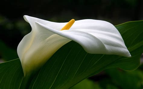 calla flower white calla lilies hd wallpaper flowers wallpapers