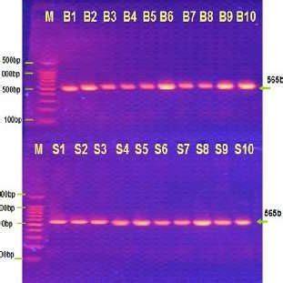 stool culture pdf pdf detection of helocobacter pylori in