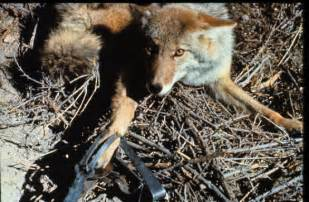 Trapped Coyote in Leghold Trap