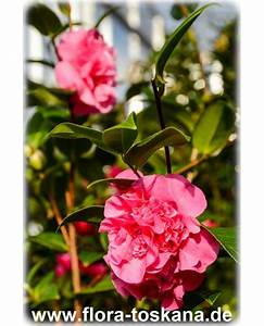 Kamelie Gelbe Blätter : campsis radicans trompetenblume klettertrompete flora ~ Lizthompson.info Haus und Dekorationen