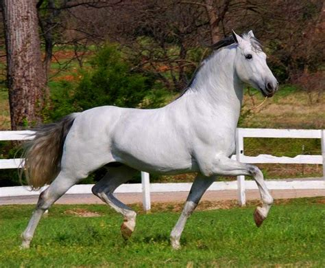 andalusian horse breeds horses breed movement most head grey popular localriding strong war tail riding weneedfun famous short things clean