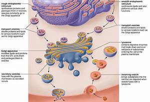 endomembrane system wikis Quotes