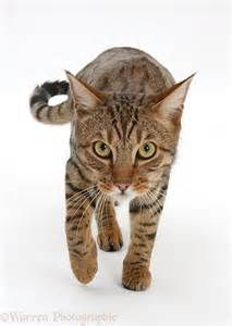picture of cats bengal cat stalking photo wp40045