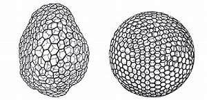 Structure Of The  U0026quot  Reticulum Plasmatique  U0026quot  Of Carnoy