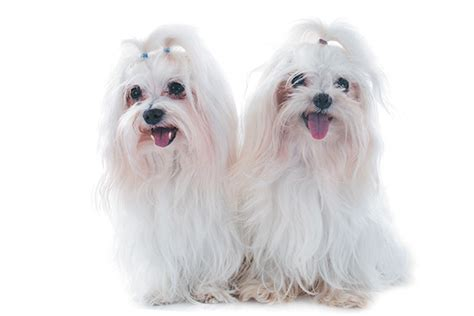What Dogs Do Not Shed Hair by Dogs Who Don T Shed Separating Fact From Fiction
