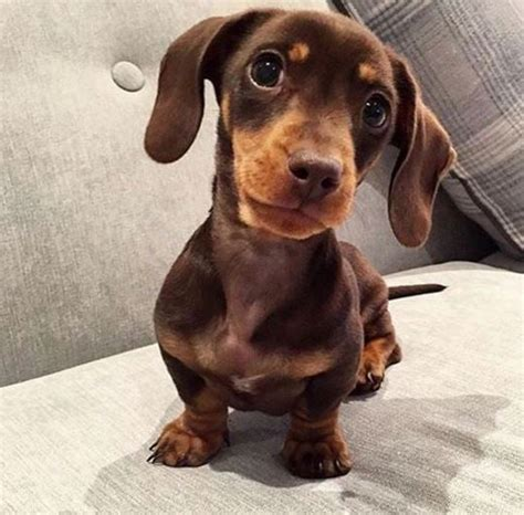 cutest sausage dogs  instagram popsugar home australia