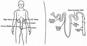 Simple Kidney Nephron Diagram