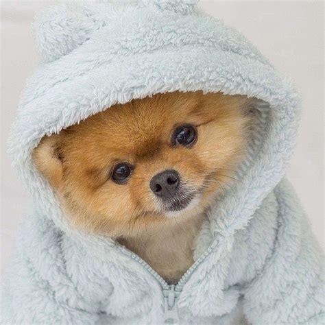 1654 best images about pomeranians on cutest