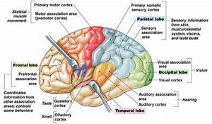 Detailed Brain Lobes  7