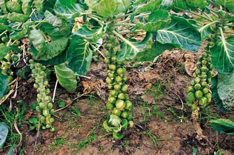 cucinare broccoletti di bruxelles cavolini di bruxelles come coltivarli vita in cagna