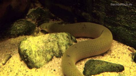 hd ropefish floesselaal  zoo wuppertal  youtube