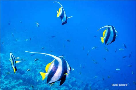fish species different banner reef sea coral