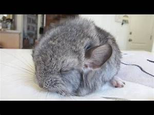 Cute Baby Chinchilla Noises! - YouTube
